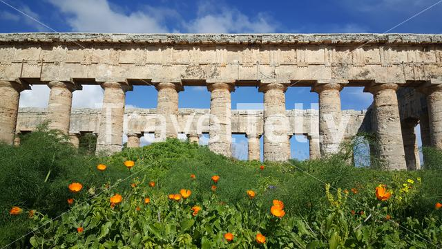 Flowers in front of the Doric temple of Segesta in Italy