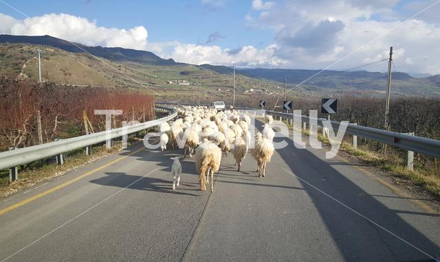Sheeps on the road around Serra Italy