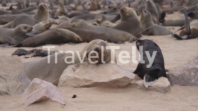 Mother sea lion and her pup at Cape Cross Seal Reserve in Namibia