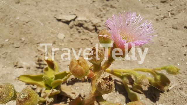 Close up from a flower in the Namib desert of Namibia