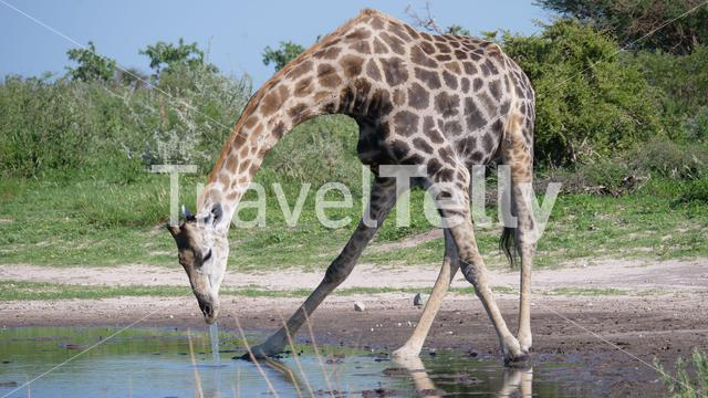 Giraffe drinking from a waterhole at Central Kalahari Game Reserve in Botswana