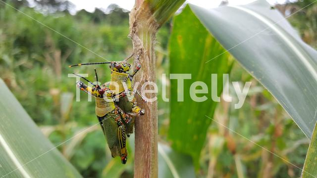 Mating grasshoppers around mount Kloto in Togo