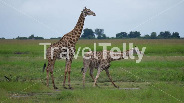 Giraffe drinks water from a pond in Moremi Game Reserve, Botswana