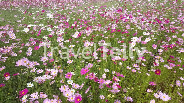 Field of pink and purple flowers in the Mountains of Lesotho Africa