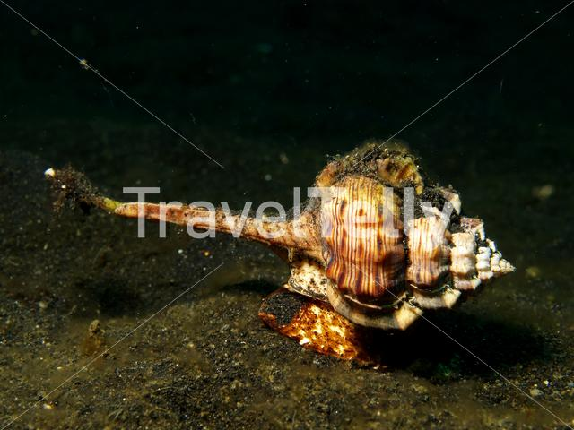 Sea snail in Lembeh Sulawesi Indonesia