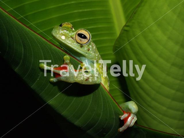 Scarlet-webbed Tree Frog in Tortuguero National Park Costa Rica