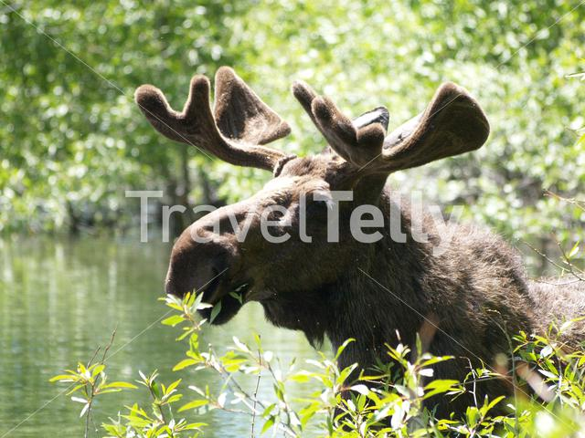 Moose eating leafs in Yellowstone National Park