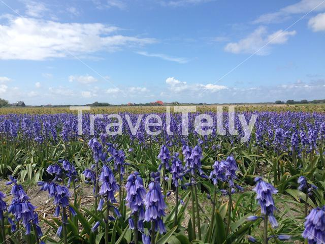 Purple flowers on Texel in Holland The Netherlands