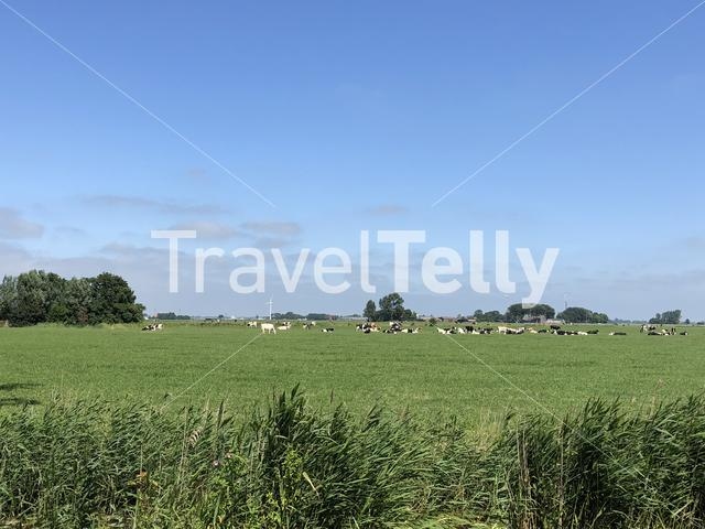 Cows in the meadow around Tzum, Friesland The Netherlands
