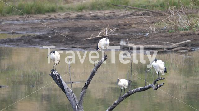 African sacred ibis sitting on a branch at a waterpool in the Pilanesberg Game Reserve South Africa