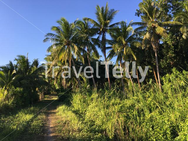 Path with palmtrees at the countryside in Anda Bohol the Philippines