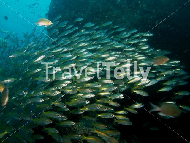 Group of snappers in Koh Chang Thailand