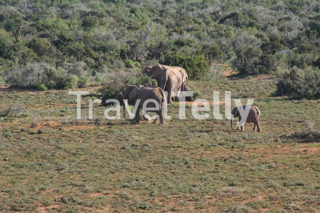 Herd of elephants on the savanna in South Africa