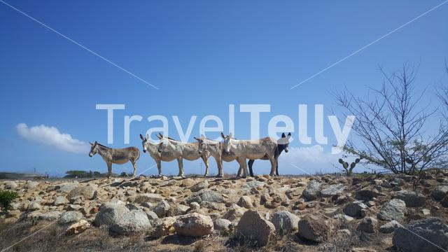 A group of donkeys on Aruba
