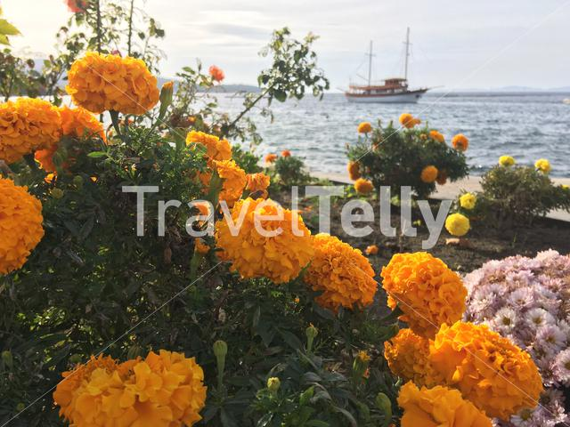 Orange Marigold plant with the cruise ship in the background at Neos Marmaras Greece
