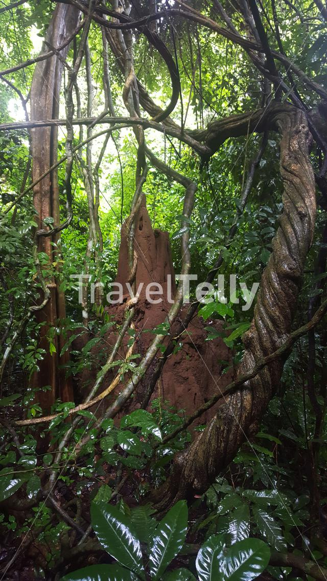 Termite Hill in the forest