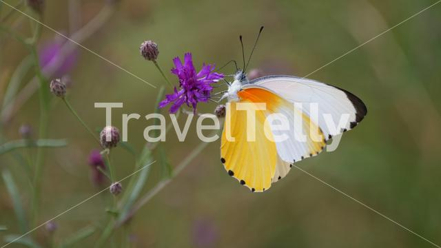 A Common Dotted Border butterfly on a purple clover in Waterberg South Africa