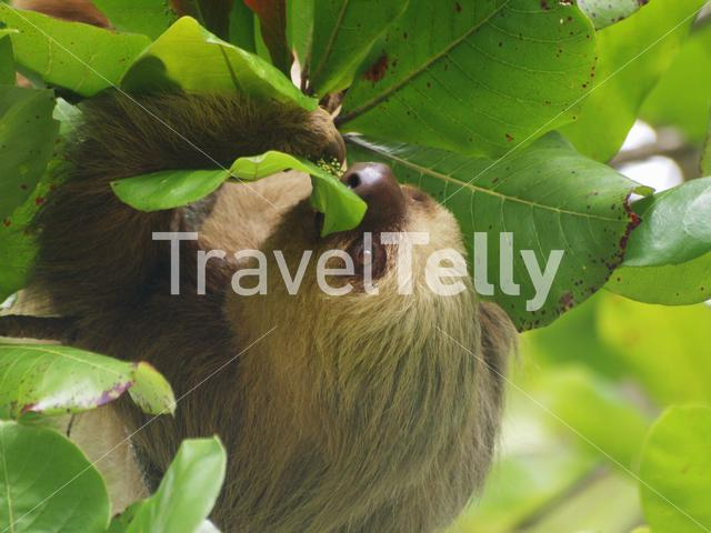 Sloth eating from a tree in Manuel Antonio National Park Costa Rica