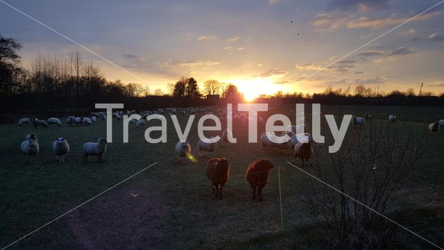 Sunset with sheeps at Dutch farmland