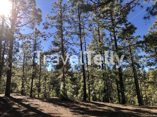 Forest at Teide National Park on Tenerife
