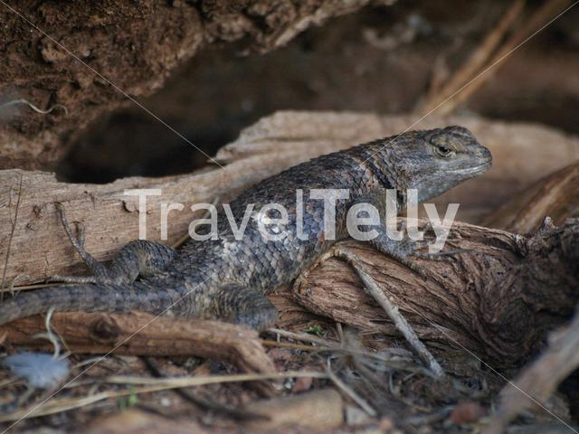 Spiny lizard in Zion National Park