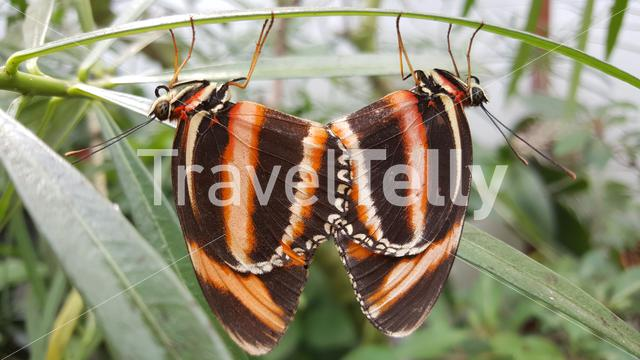 Mating butterflys on a plant