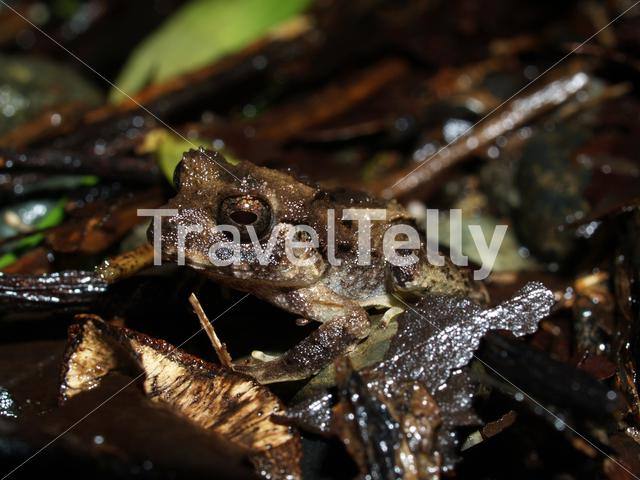 Common Rain Frog in Corcovado National Park