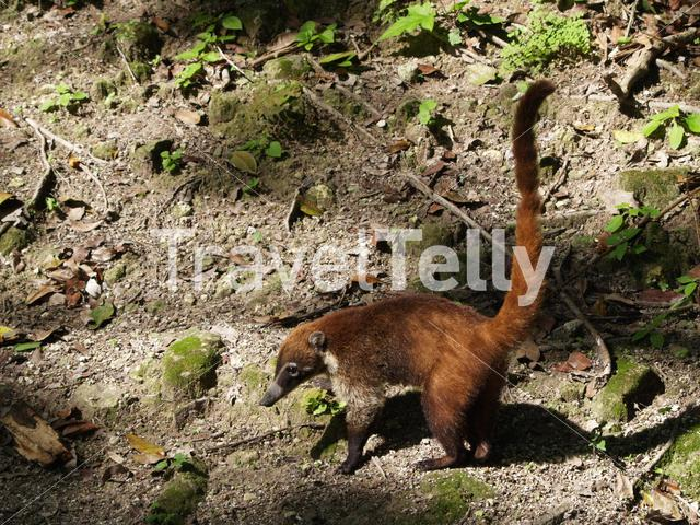 Coati in the forest Tikal National Park Guatemala