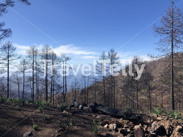 Burned forest on Gran Canaria
