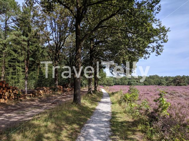 Path through the flowering heather at the Zwarte Dennen nature reserve in Overijssel, The Netherlands