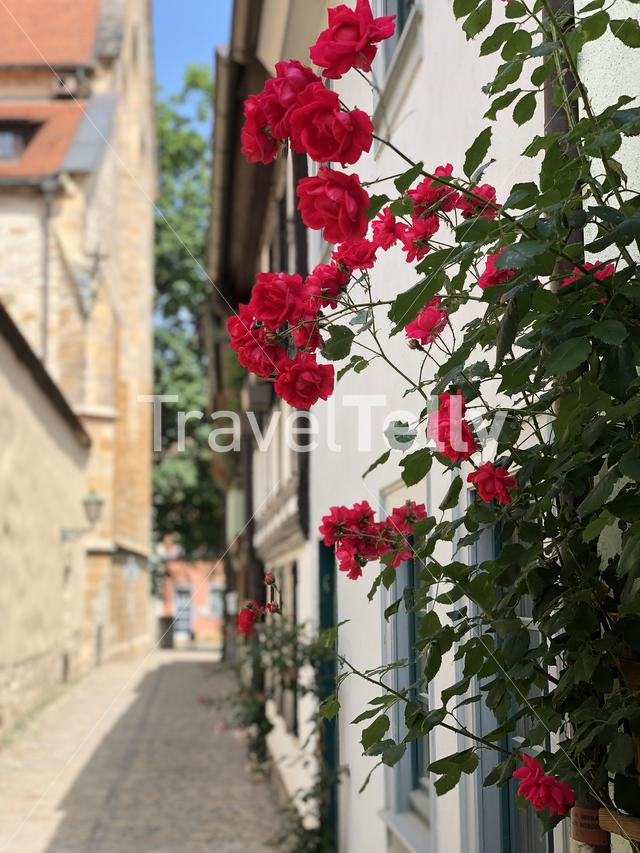 Roses in the old town of Erfurt Germany