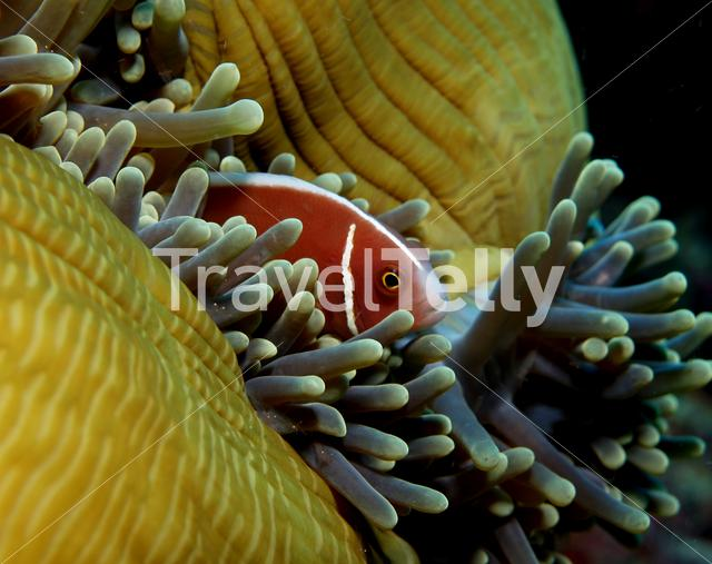 Skunk anemonefish in Bunaken National Marine Park Indonesia