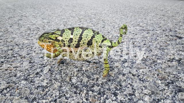 African chameleon on the ground in Kyle Game Reserve, Zimbabwe