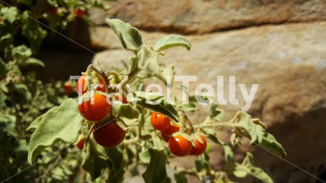Cherry tomato at Cederberg Wilderness Area in South Africa