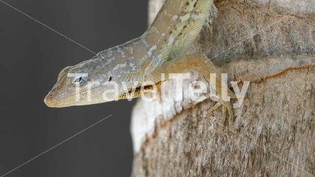 Striped Anoles on a tree