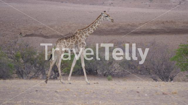 Lonely giraffe walks on the dry savanna of Orupembe in Namibia
