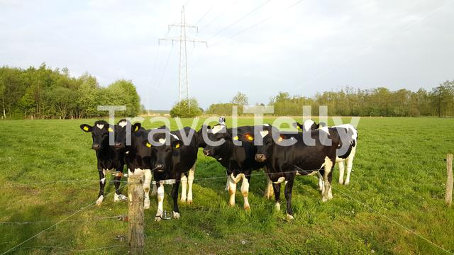 Cows in typical Dutch landscape
