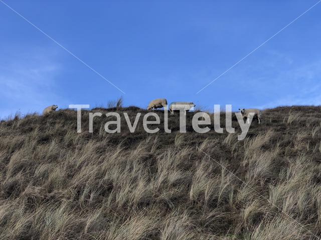 Sheeps on Texel island in The Netherlands