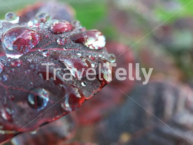 Raindrop on a red leaf during autumn in The Netherlands