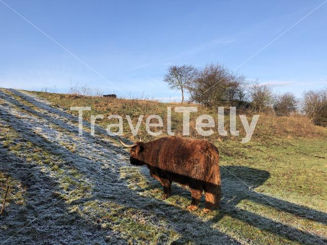 Highland cattle in the Mayor Rasterhoffpark in Sneek, Friesland The Netherlands