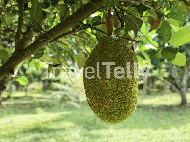 Jackfruit Tree (Kanoon) in Thailand