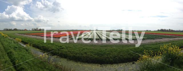 Panorama from a Tulip field in the north of The Netherlands