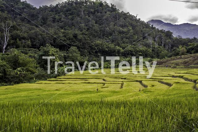 Rice fields at Pai Thailand