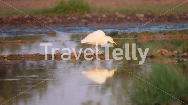Cattle egret at a pond in Central Kalahari Game Reserve, Botswana