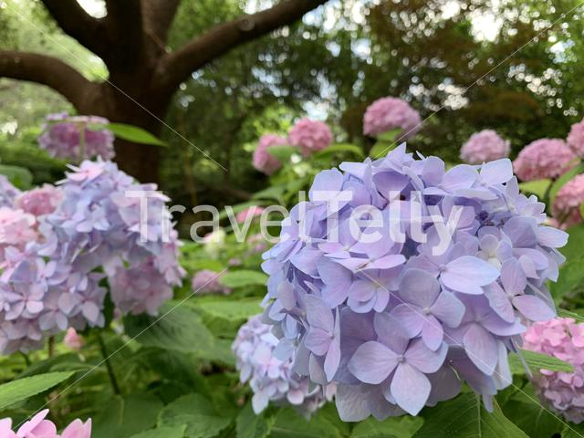 Hydrangeas in bloom at the Fort Worth Botanical Garden