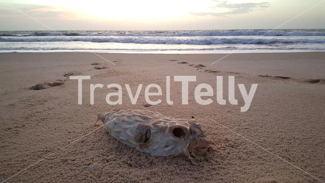Dead puffer fish on beach in Lompoul sur Mer Senegal