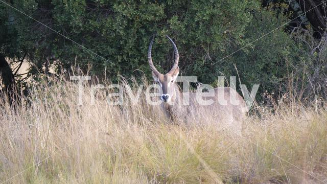 Waterbuck eating grass at Pilanesberg Game Reserve in South Africa