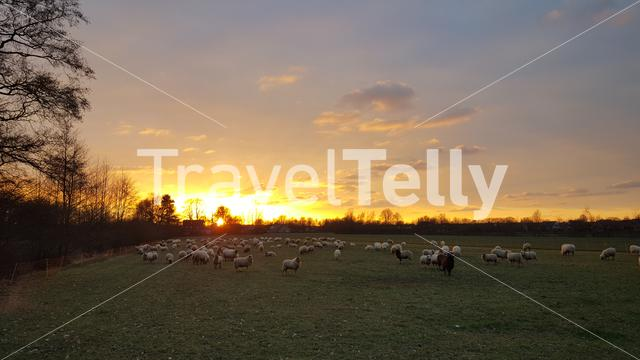 Sunset at Dutch farmland with group sheeps