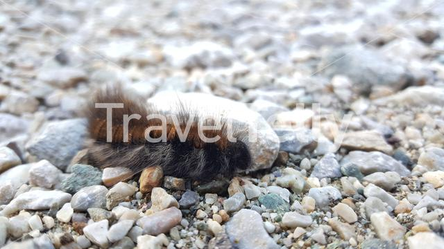 Caterpillar moving slowly over the ground in Mavrovo National Park Macedonia