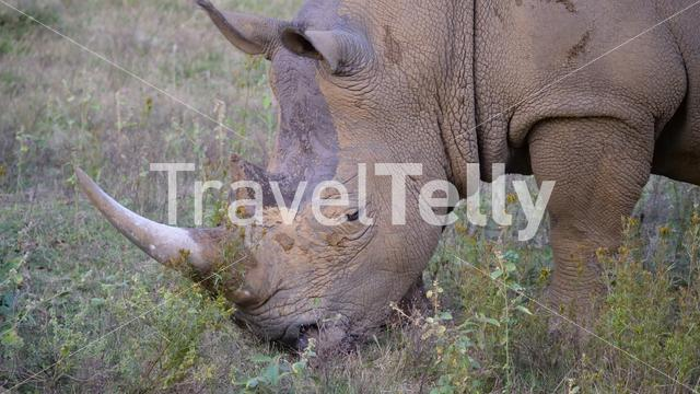 Close up from a white rhino eating grass in Waterberg South Africa
